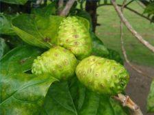 Cum cultivi fructul noni, cu proprietati miraculoase