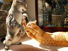Cum sa impiedici bataile intre pisici