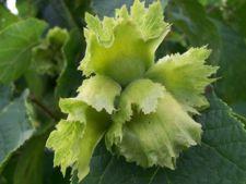 Fructe oleaginoase pe care le poti cultiva in gradina