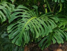 Monstera deliciosa, planta uragan
