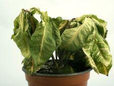 Pasi simple pentru salvarea unei plante pe moarte