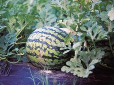Gradina urbana: Invata sa cultivi pepeni verzi in ghivece!