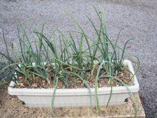 Invata sa cultivi ceapa in ghiveci