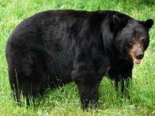 Studiu: Ursii negri americani stiu sa numere