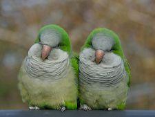 Specii de papagali vorbitori