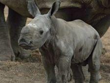 Eveniment rar: La o Gradina Zoologica din Israel s-a nascut un pui de rinocer alb
