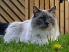 Specii de pisici mari