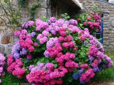 Schimba culoarea hortensiilor cu ajutorul solului