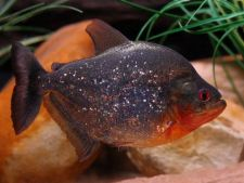 Cei mai agresivi pesti de acvariu
