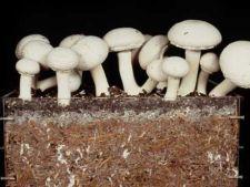Cum sa cresti ciuperci