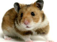 Cum sa previi aparitia mirosurilor neplacute la hamsteri