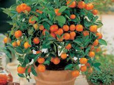 Creste un pom fructifer in ghiveci