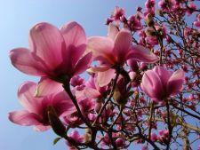 Boli ale magnoliei: identificare si tratament