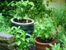 Invata sa ingrijesti gradina cu ierburi aromatice