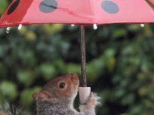 O veverita isteata: foloseste umbrela pentru a-si proteja mancarea de ploaie!