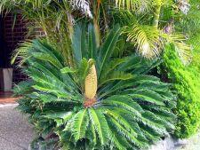 Sagotierul japonez, o planta exotica pentru gradina ta
