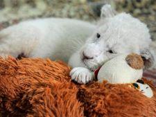 In Ucraina s-au nascut doi pui albinosi de leu