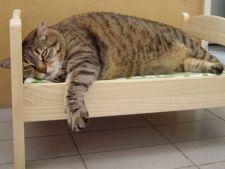 Pisica ta este prea grasa? Iata ce ai de facut
