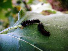 Cele mai comune insecte daunatoare din gradina
