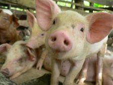 Porcii de la o ferma din Suceava sunt crescuti cu muzica clasica