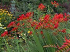 Crocosmia, o floare decorativa pentru vara si toamna
