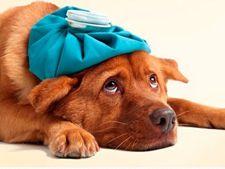Simptome ale astmului la caini