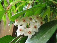 Cum ingrijesti Hoya sau Floarea de ceara