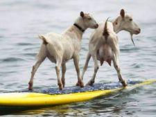 Un american pasionat de surf si-a invatat caprele sa se dea cu placa