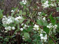 Cum cresti arbustul ornamental Symphoricarpos