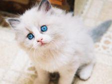 Rase de pisici potrivite pentru familii cu copii
