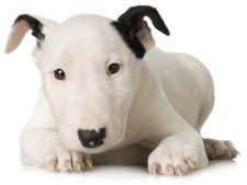 Tot ce trebuie sa stii despre cainii din rasa Bull Terrier