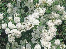 Cum cresti arbustul decorativ Spiraea