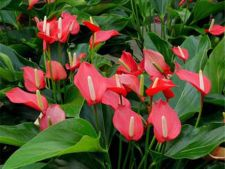Cum ingrijesti Floarea Flamingo (Anthurium)