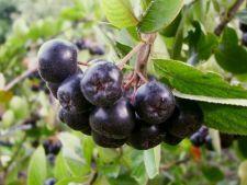 Aronia, un arbust fructifer senzational