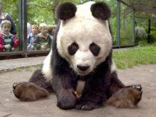 A murit cel mai batran urs panda din lume