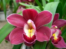 Plante de apartament: Orhideea Cymbidium