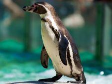 Un pinguin a facut infarct si a murit cand a vazut hotii care incercau sa il fure