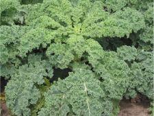 Cum cultivi varza Kale