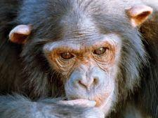 Fa cunostinta cu Natasa, geniul absolut din lumea cimpanzeilor