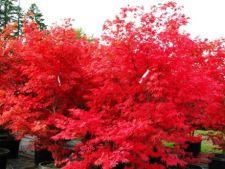 Arbusti de toamna cu un colorit superb