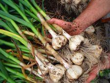 Planteaza usturoi toamna, pentru o recolta generoasa
