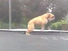 Amuzant! Un buldog se distreaza sarind pe trambulina