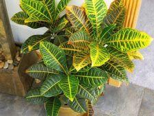 Croton, planta de apartament decorativa prin frunze