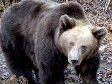 Locuitorii unui sat din comuna Moroieni iau masuri impotriva ursilor