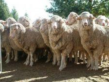 Iata ce dezastru poate face o turma de oi!