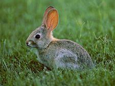 Semne de boala la iepuri