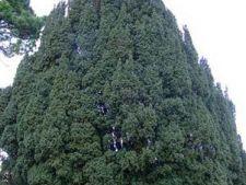 Cum cresti arborele Taxus
