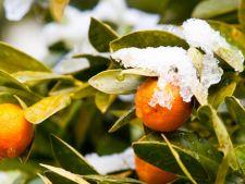 Cum ingrijesti un portocal iarna