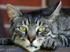 Tratarea enteritei la pisici