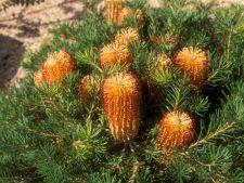 Cum cresti Banksia